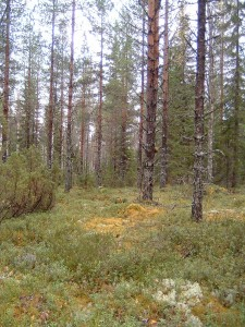 Lichens Mosses and bilberry cover the forest floor under Birch, Spruce and Pine